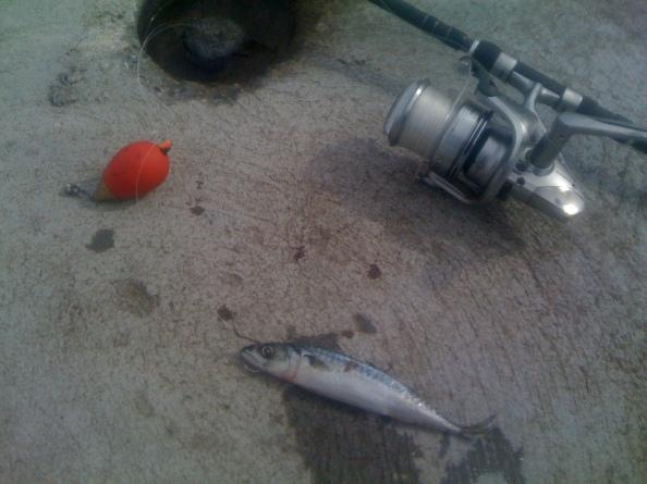 Een van de makreeltjes