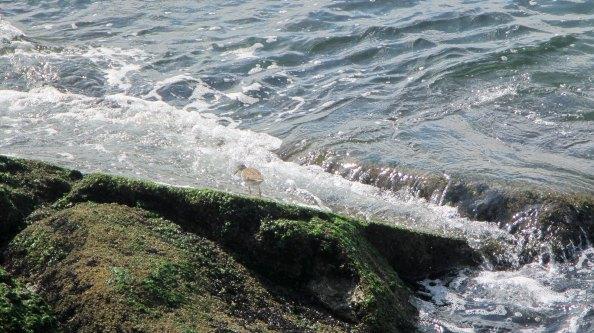 strandlopertjes-scharrelen-tussen-de-stenen-IMG_0741