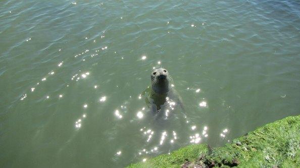 IMG_2301-zeehond-nieuwsgierig