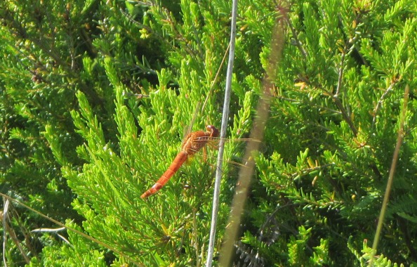 IMG_2508-dragonfly
