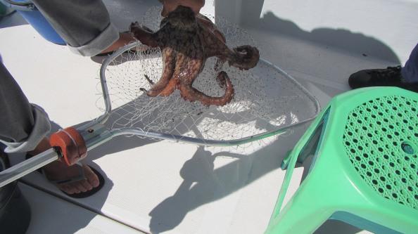 IMG_2621-octopus-geschept