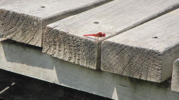 IMG_2837-dragonfly